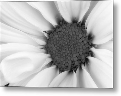 Daisy Flower Macro Metal Print by Tom Mc Nemar