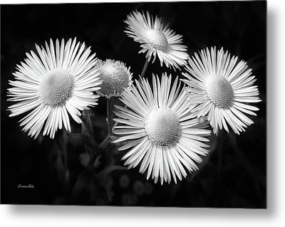 Metal Print featuring the photograph Daisy Flowers Black And White by Christina Rollo