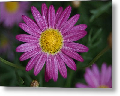 Metal Print featuring the photograph Daisy by Heidi Poulin