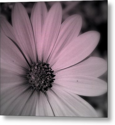 Metal Print featuring the photograph Daisy by Laura DAddona