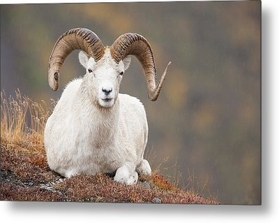Dall Sheep Ram Metal Print