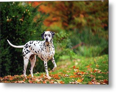 Dalmatian Dog In Autumn Woods Metal Print