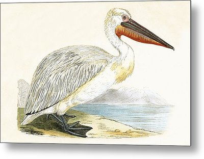 Dalmatian Pelican Metal Print by English School