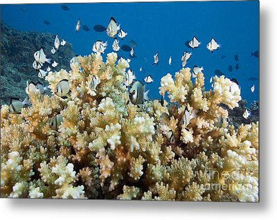 Damselfish Among Coral Metal Print by Dave Fleetham - Printscapes