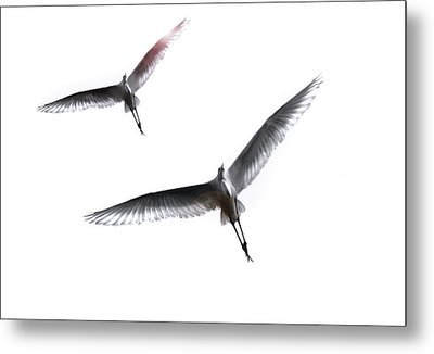 Dance Of The Egrets Metal Print