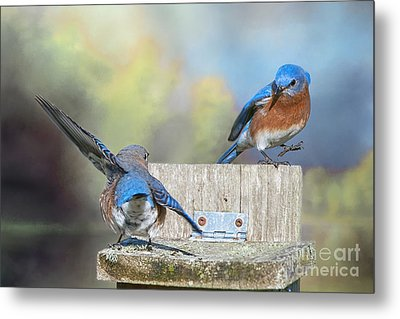 Metal Print featuring the photograph Dancing Bluebirds by Bonnie Barry