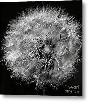 Dandelion 2016 Black And White Square Metal Print by Karen Adams