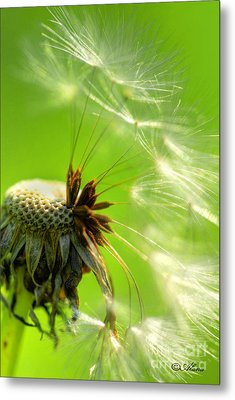Metal Print featuring the photograph Dandelion by Alana Ranney