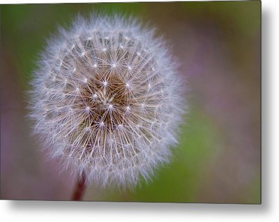 Metal Print featuring the photograph Dandelion by April Reppucci