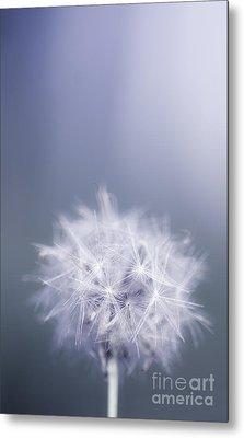 Dandelion Flower In Cold Blue Field. Winter Wish Metal Print by Jorgo Photography - Wall Art Gallery