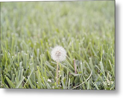 Metal Print featuring the photograph Dandelion In The Grass by Cindy Garber Iverson