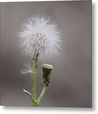 Metal Print featuring the photograph Dandelion Seed Head by Rona Black