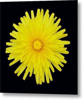 Dandelion Metal Print by Shirley anne Dunne