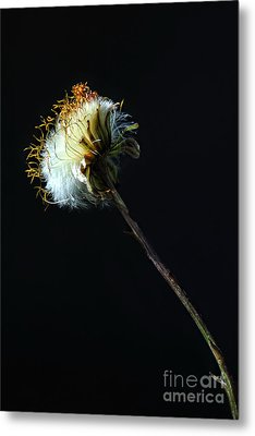 Dandelion Silhouette Metal Print by Edward Sobuta