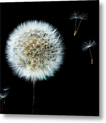 Dandelion With Floating Seed Heads  Metal Print by Alex Saunders