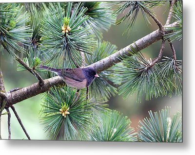 Dark-eyed Junco On A Pine Tree Metal Print by David Gn