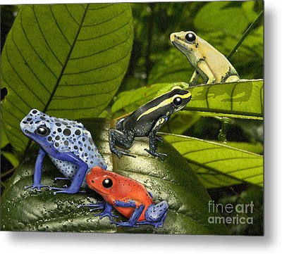 Dart-poison Frogs - Poison-dart Frogs Dendrobatidae - Baumsteiger Frosch - Pijlgifkikkers Metal Print by Urft Valley Art