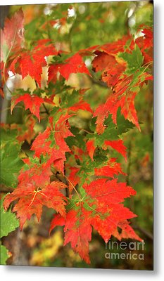 Metal Print featuring the photograph Dazzling Autumn Leaves In The Blue Ridge by Dan Carmichael