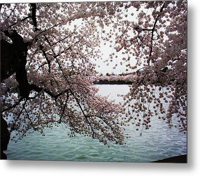 Dc Cherry Blossoms Metal Print by Joyce Kimble Smith