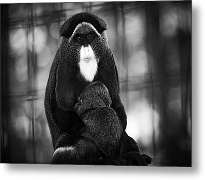 De Brazza's Monkey Metal Print by Jason Moynihan
