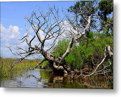 Metal Print featuring the photograph Dead Cedar Tree In Waccasassa Preserve by Barbara Bowen