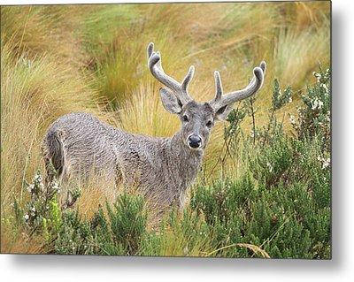 Deer And Native Vegetation Ecuador Metal Print by Juan Carlos Vindas