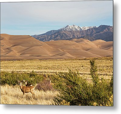Metal Print featuring the photograph Deer And The Colorado Sand Dunes by James BO Insogna