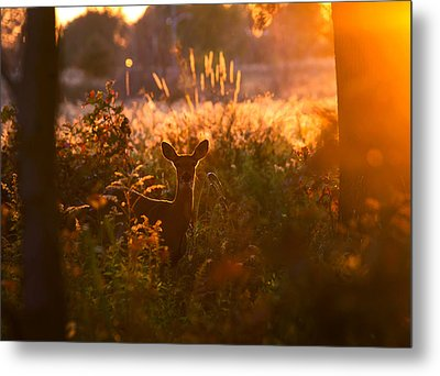 Deer At Ojibway Park Metal Print by Cale Best