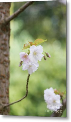 Metal Print featuring the photograph Delicate Blossom by Tim Gainey