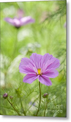 Delicate Pink Metal Print by Tim Gainey