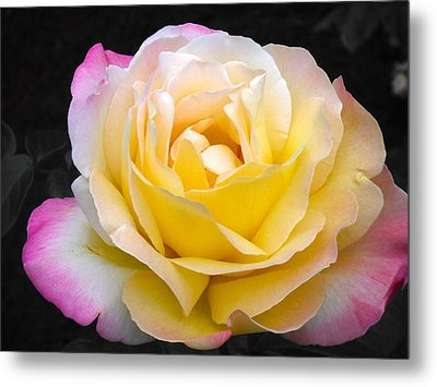 Delightful Blushing Rose  Metal Print