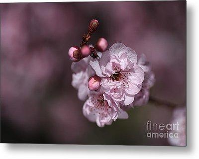 Delightful Pink Prunus Flowers Metal Print by Joy Watson