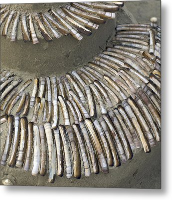 Denmark, Romo, Seashells, Razor Clams Metal Print by Keenpress