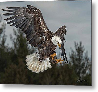 Descending Eagle Metal Print by CR  Courson