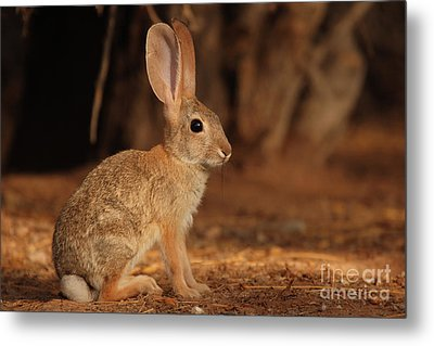 Desert Cottontail Posing Metal Print by Max Allen