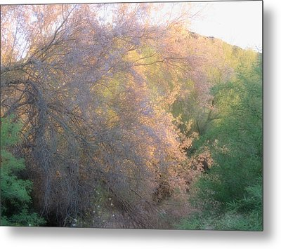 Desert Ironwood Blooming In The Golden Hour Metal Print