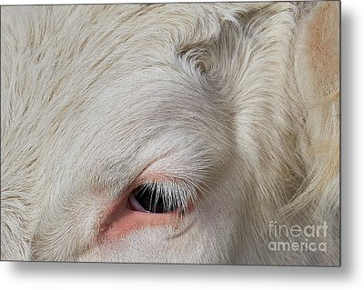 Detail Of The Head Of A Cow Metal Print by Nick Biemans