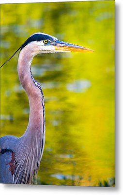 Details Of A Great Blue Heron  Metal Print by Parker Cunningham