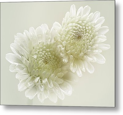 Dew Drops On White Chrisantemus Metal Print by Flower photography by Viorica Maghetiu