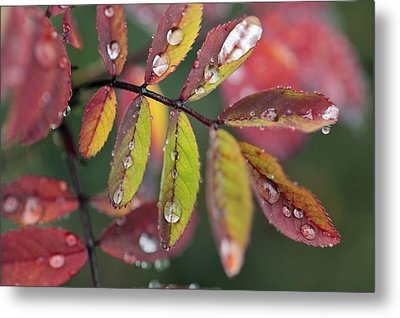 Dew On Wild Rose Leaves In Fall Metal Print by Darwin Wiggett