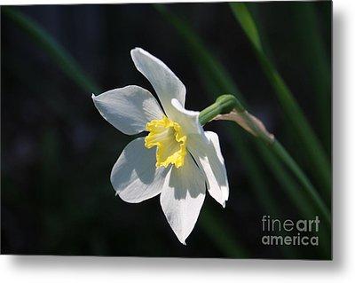 Diana's Daffodil Metal Print
