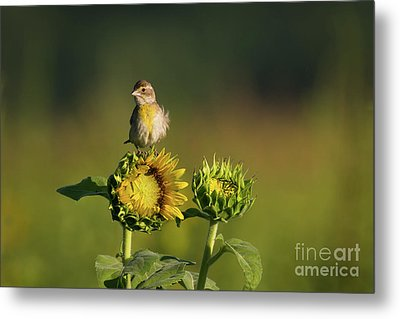 Dickcissel Sunflower Metal Print