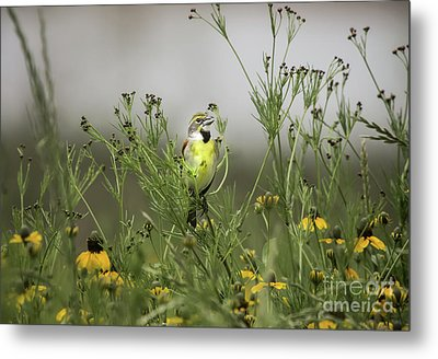 Metal Print featuring the photograph Dickcissel With Mexican Hat by Robert Frederick