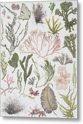 Different Strains Of Seaweed. From Metal Print by Vintage Design Pics