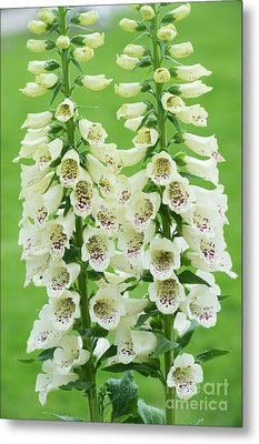 Metal Print featuring the photograph Digitalis Purpurea Primrose Carousel by Tim Gainey