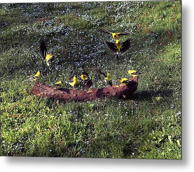 Goldfinch Convention Metal Print