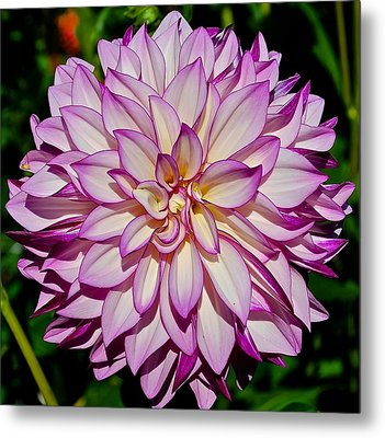 Divine Dahlia Blessings  Metal Print