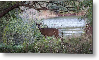Metal Print featuring the photograph Doe Under Arching Branches by Chris Bordeleau
