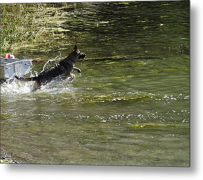 Dog Chasing His Stick Metal Print