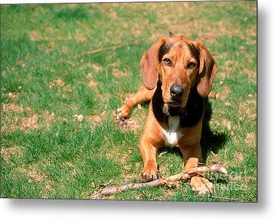 Dog With Stick Metal Print by John Kaprielian